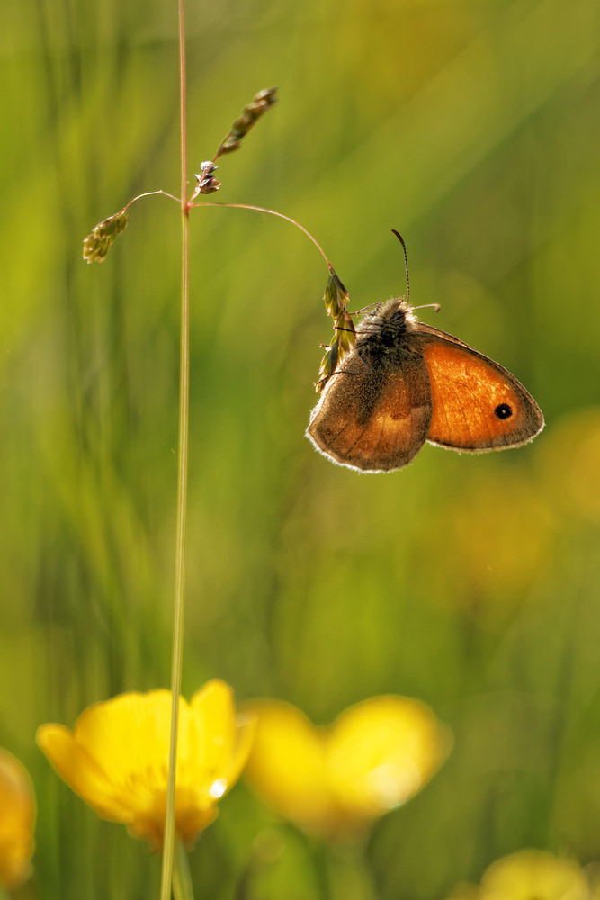 Coenonympha pamphilus (Nymphalidae)  - Fadet commun, Procris - Small Heath Aveyron [France] 05/06/2014 - 735m