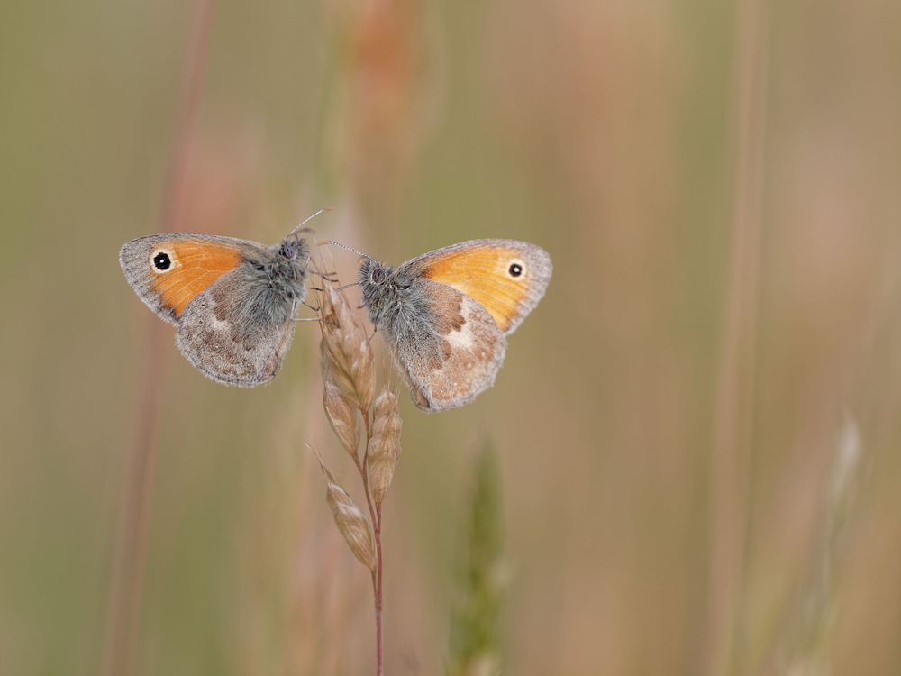 Coenonympha pamphilus (Nymphalidae)  - Fadet commun, Procris - Small Heath Allier [France] 07/06/2014 - 202m