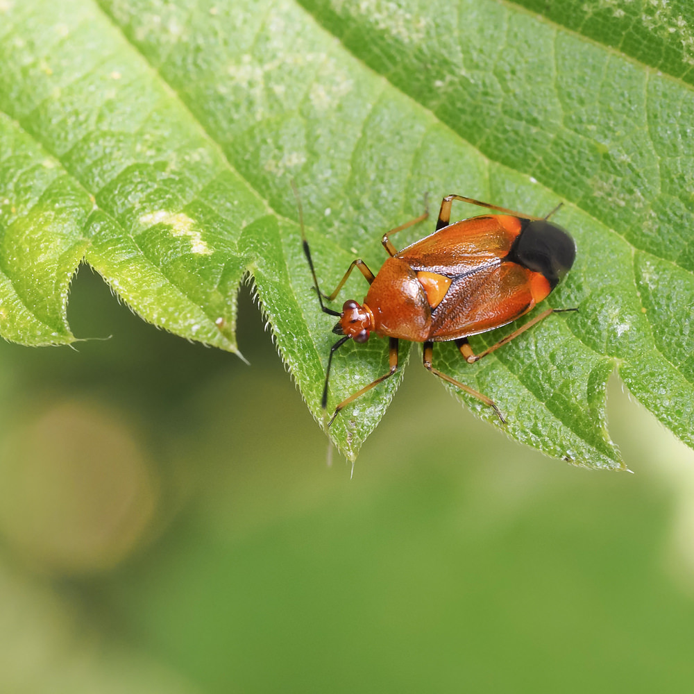 Deraeocoris ruber Red Spotted Plant Bug