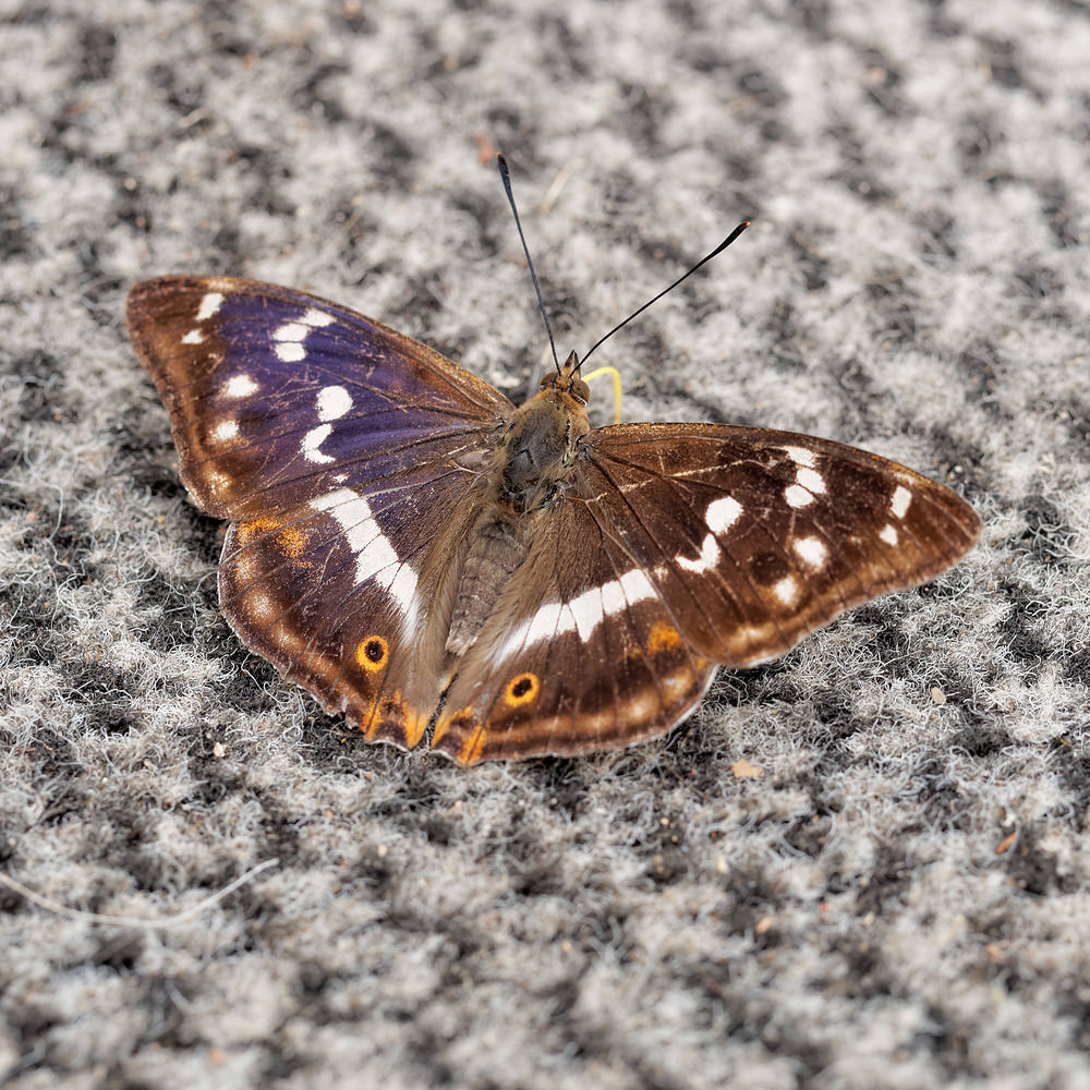 Apatura iris Grand mars changeant Purple Emperor