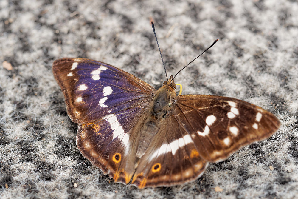 Apatura iris (Nymphalidae)  - Grand mars changeant - Purple Emperor Nord [France] 14/07/2014 - 154m