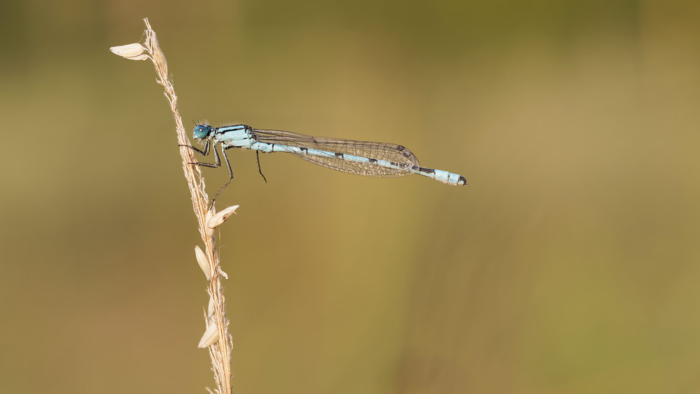 Enallagma cyathigerum (Coenagrionidae)  - Agrion porte-coupe - Common Blue Damselfly Marne [France] 19/07/2014 - 166m