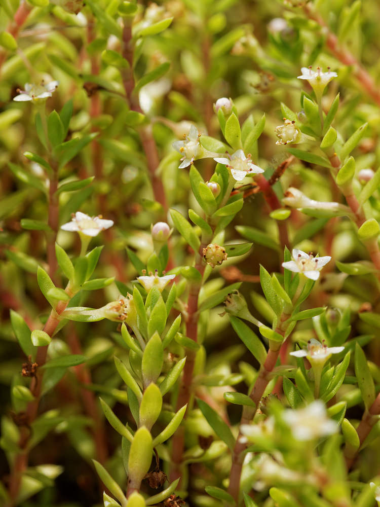 Crassula helmsii Orpin de Helms, Crassule New Zealand Pigmyweed