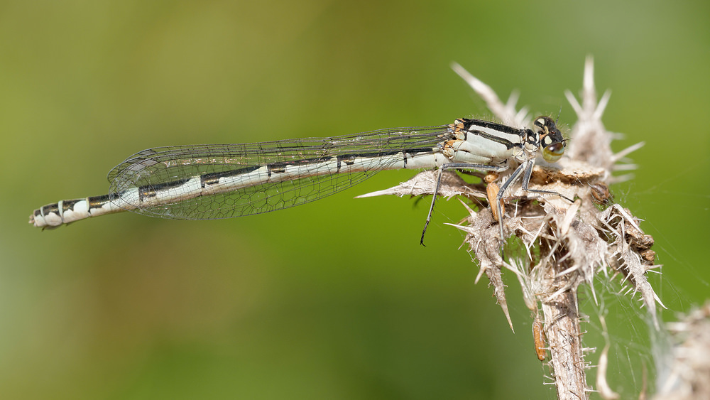 Enallagma cyathigerum (Coenagrionidae)  - Agrion porte-coupe - Common Blue Damselfly Nord [France] 12/09/2014 - 22m