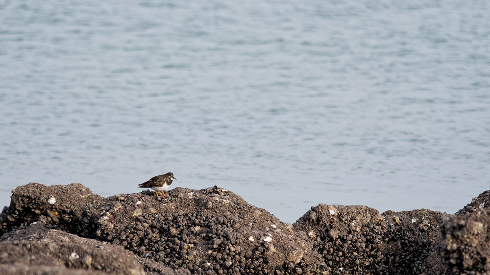 Arenaria interpres Tournepierre à collier Ruddy Turnstone