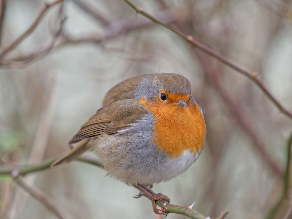 Erithacus rubecula Rougegorge familier European robin