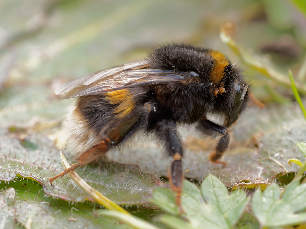 Bombus lucorum White-tailed Bumble Bee