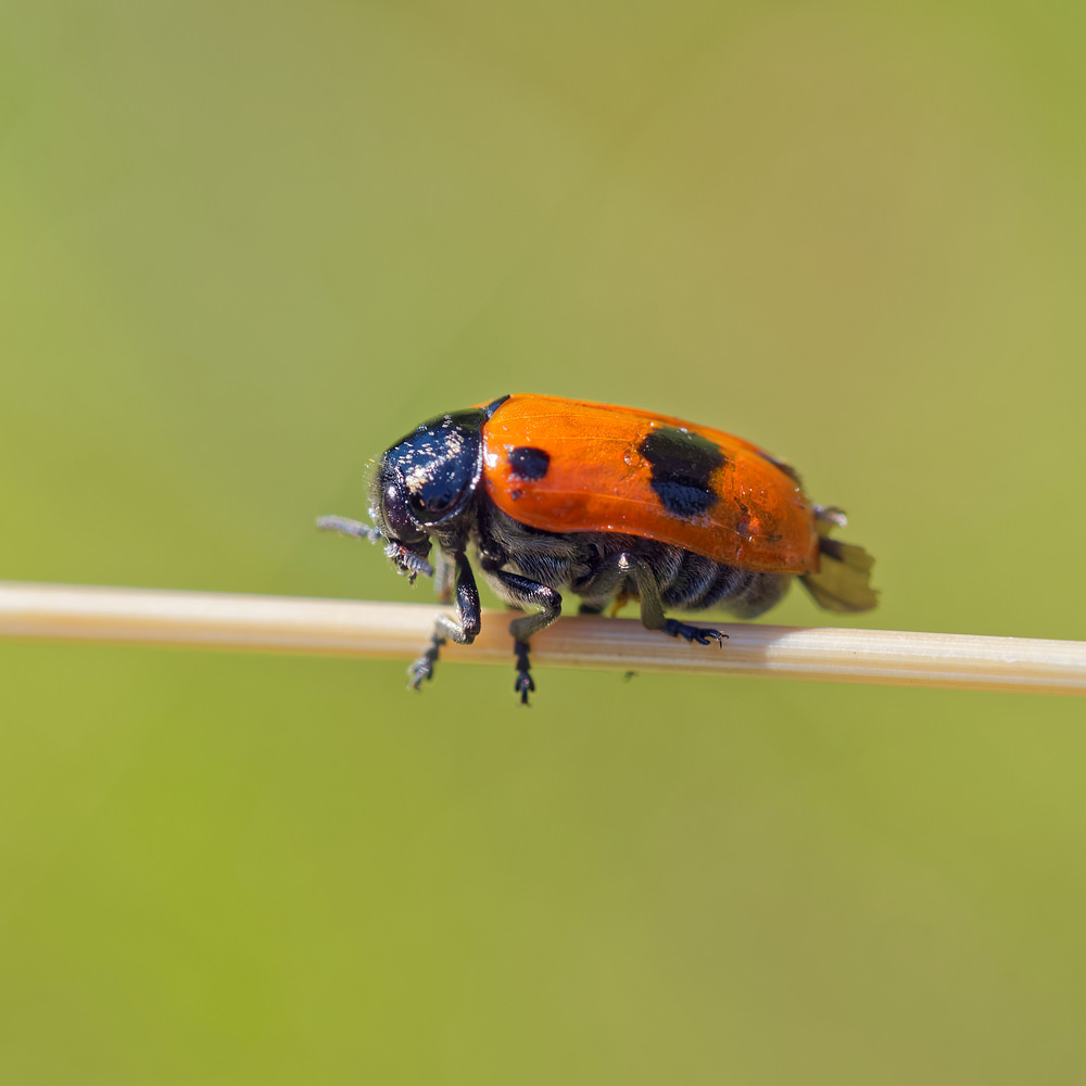 Clytra quadripunctata (Chrysomelidae)  - Clytre à 4 points Lot [France] 27/06/2015 - 270m