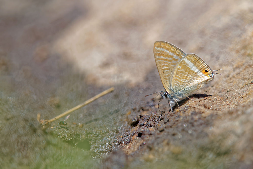 Lampides boeticus Azuré porte-queue Long-tailed Blue