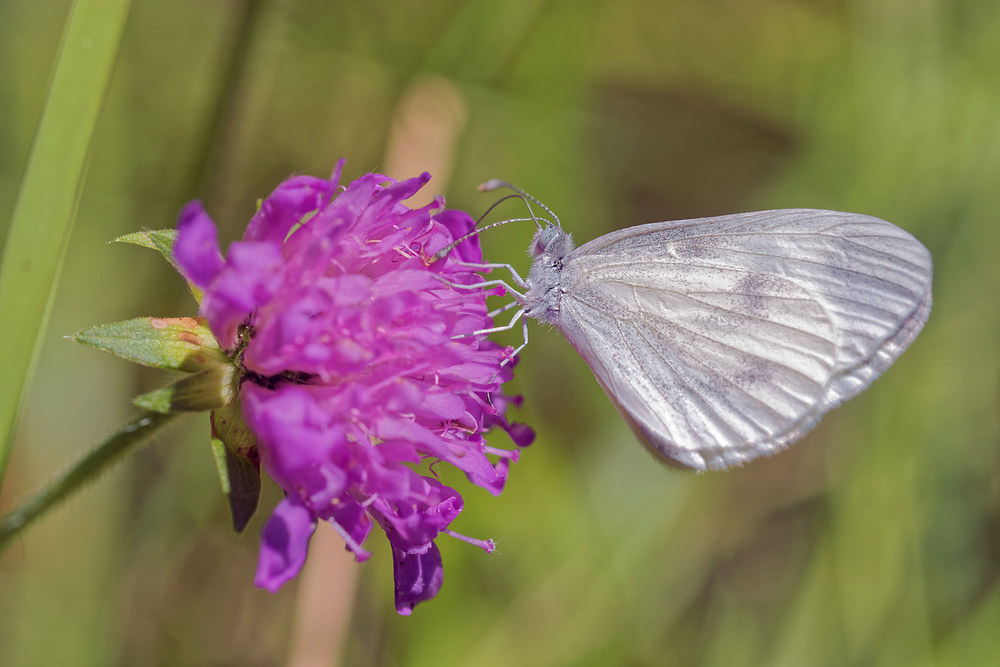 Leptidea sinapis (Pieridae)  - Piéride de la Moutarde - Wood White Lot [France] 27/06/2015 - 270m