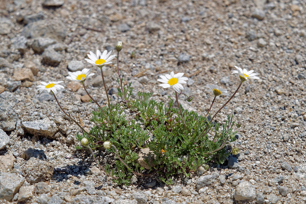 Leucanthemopsis alpina subsp. tomentosa (Asteraceae)  - Marguerite tomenteuse Hautes-Pyrenees [France] 29/06/2015 - 1810m