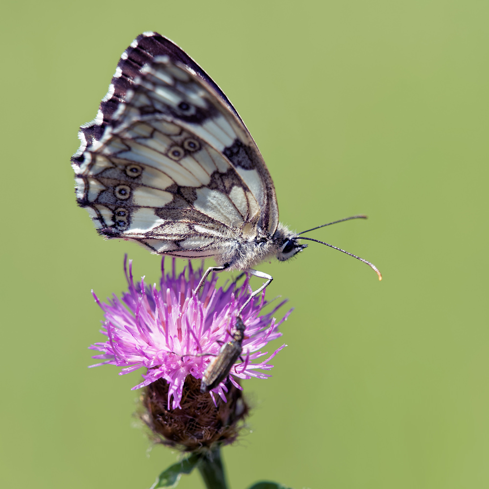 Melanargia galathea (Nymphalidae)  - Demi-Deuil, Échiquier commun - Marbled white Lot [France] 27/06/2015 - 270m