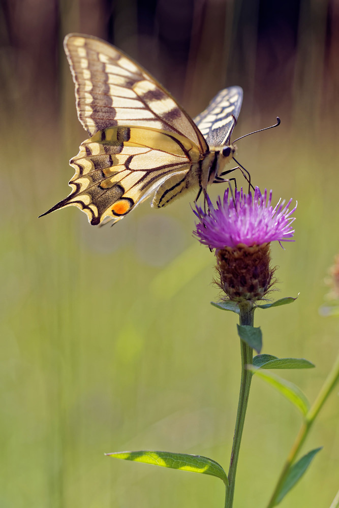 Papilio machaon (Papilionidae)  - Machaon, Grand Porte-Queue - Swallowtail Lot [France] 27/06/2015 - 270m