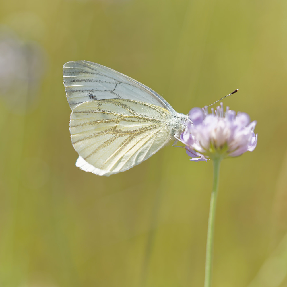 Pieris napi (Pieridae)  - Piéride du Navet - Green-veined White Ardennes [France] 16/08/2015 - 179m