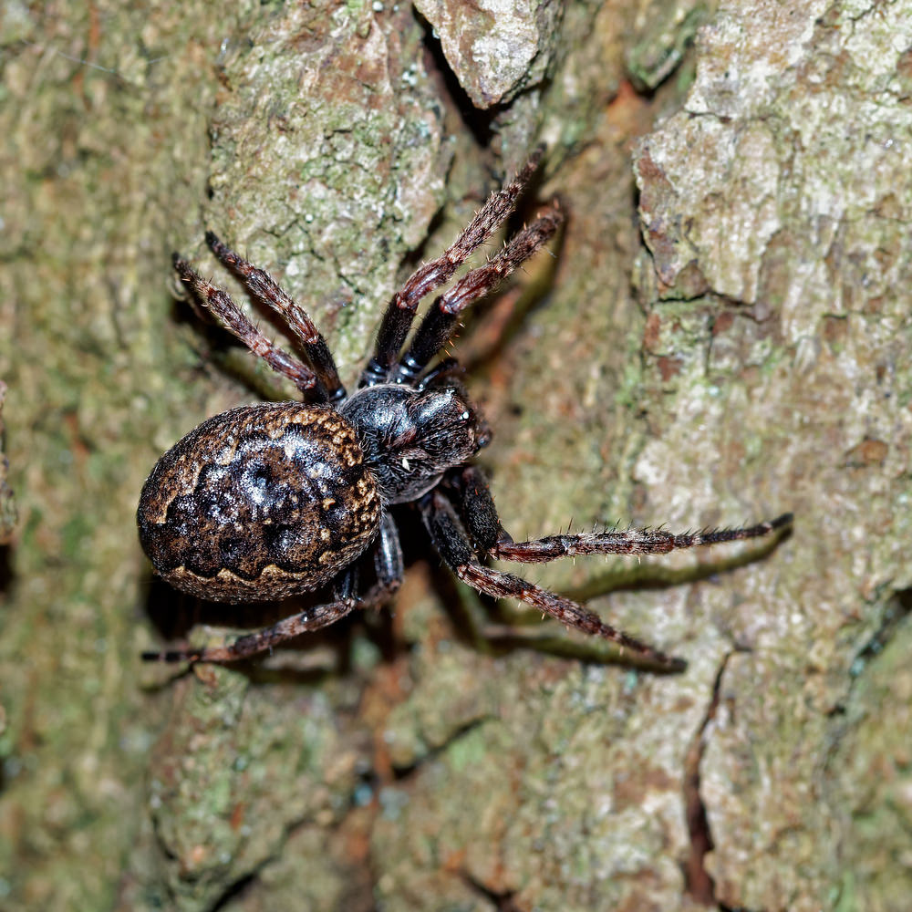 Nuctenea umbratica Epeire des fissures Walnut Orb Weaver