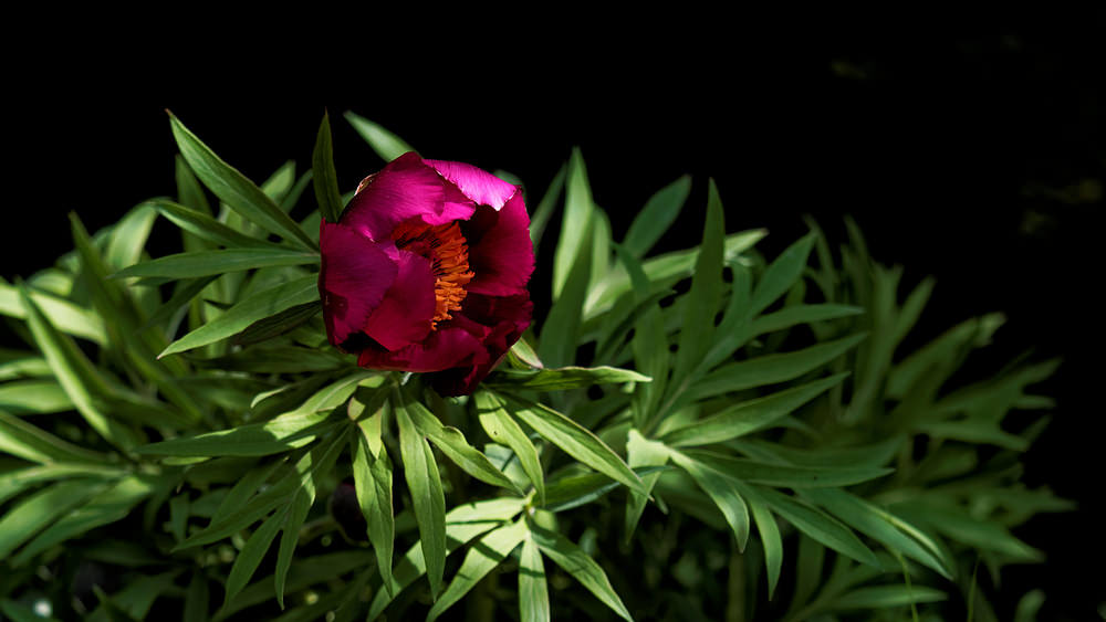 Paeonia officinalis (Paeoniaceae)  - Pivoine officinale - Garden Peony Drome [France] 25/05/2016 - 1139m