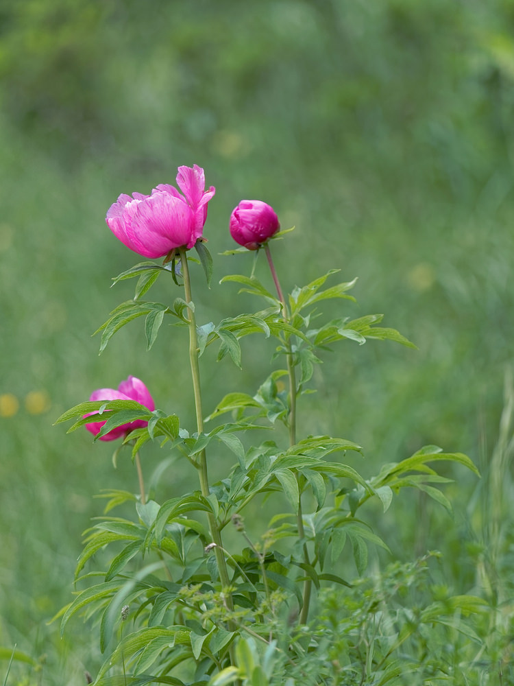 Paeonia officinalis (Paeoniaceae)  - Pivoine officinale - Garden Peony Hautes-Alpes [France] 31/05/2016 - 1058m