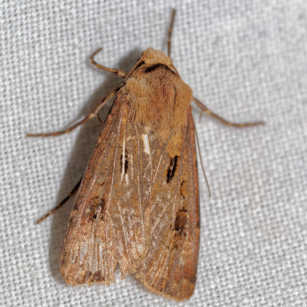 Agrotis exclamationis (Noctuidae)  - Point d'Exclamation - Heart and Dart Pas-de-Calais [France] 15/07/2016 - 50m