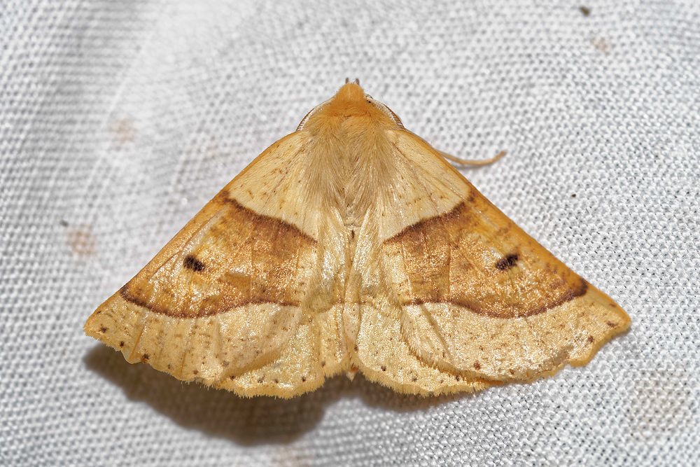 Crocallis elinguaria (Geometridae)  - Phalène de la Mancienne - Scalloped Oak Pas-de-Calais [France] 15/07/2016 - 50m