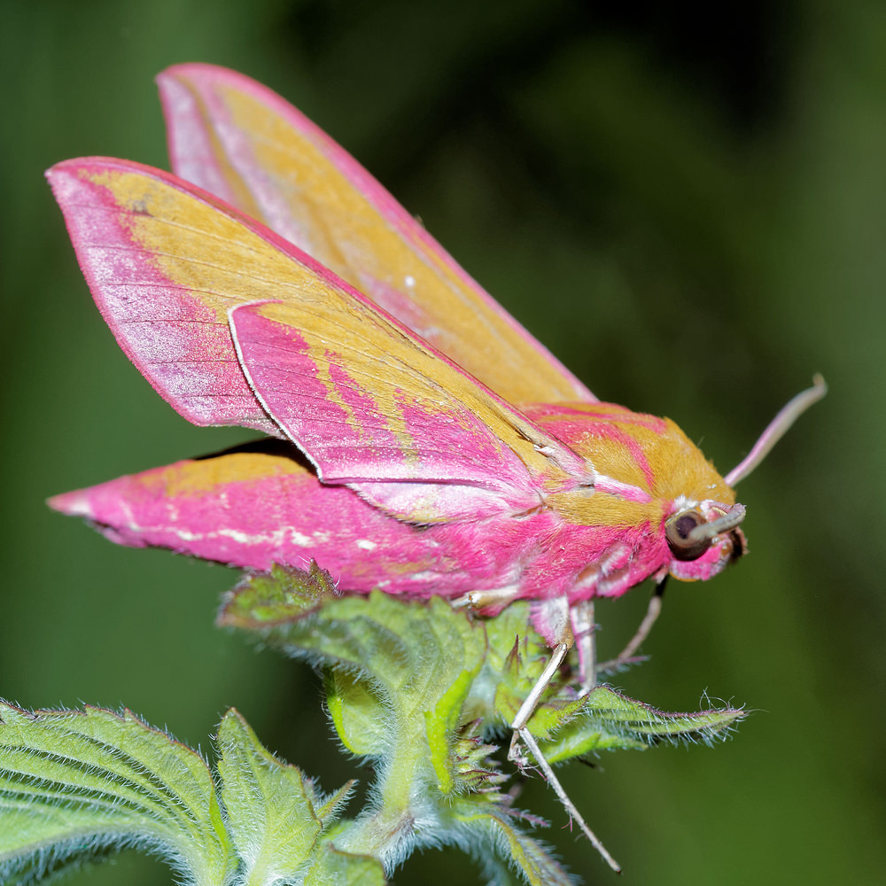 Deilephila elpenor (Sphingidae)  - Grand Sphinx de la Vigne - Elephant Hawk-moth Pas-de-Calais [France] 15/07/2016 - 50m