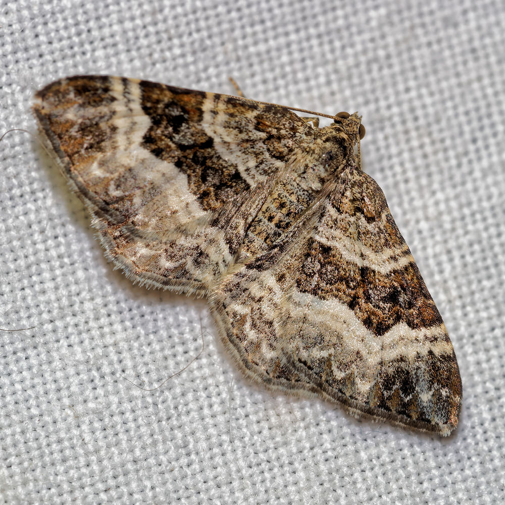 Epirrhoe alternata (Geometridae)  - Alternée - Common Carpet Pas-de-Calais [France] 16/07/2016 - 50m
