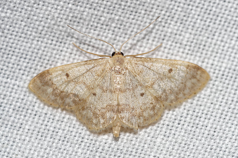 Idaea biselata (Geometridae)  - Truie - Small Fan-footed Wave Pas-de-Calais [France] 15/07/2016 - 50m