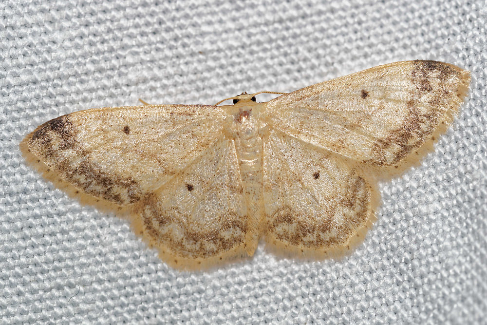 Idaea biselata (Geometridae)  - Truie - Small Fan-footed Wave Pas-de-Calais [France] 16/07/2016 - 50m