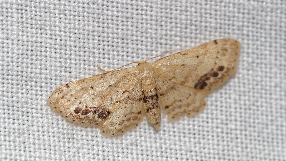 Idaea dimidiata (Geometridae)  - Acidalie écussonnée - Single-dotted Wave Pas-de-Calais [France] 15/07/2016 - 50m