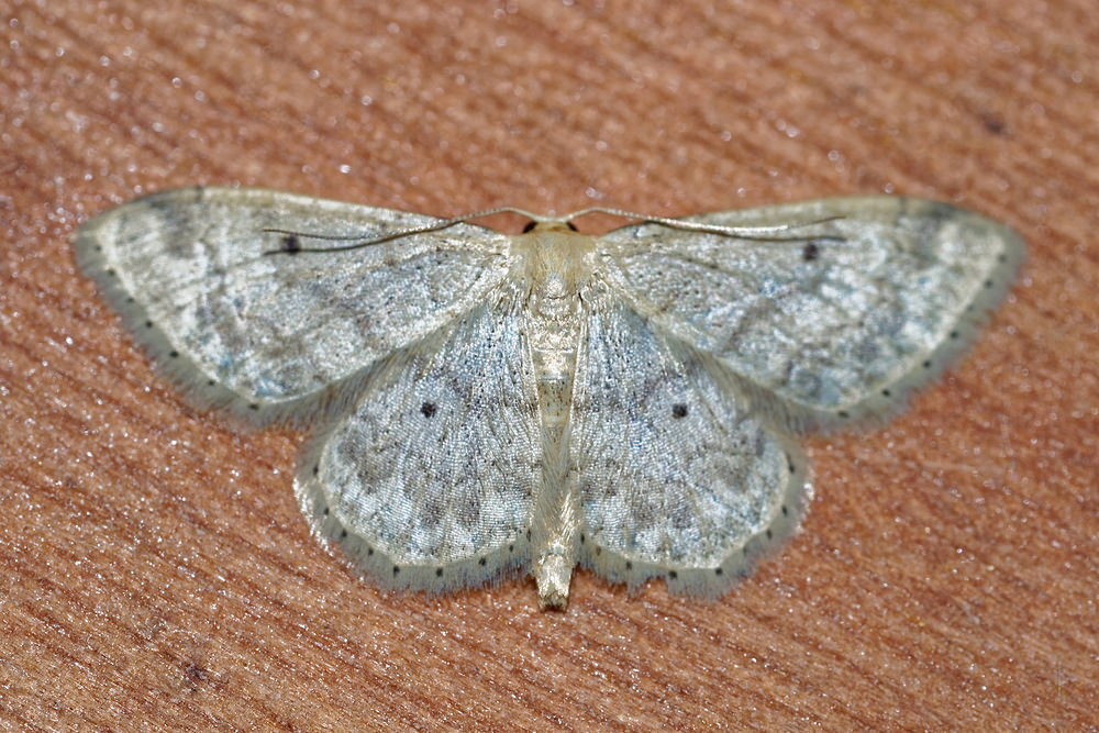 Idaea seriata Vieillie , Voisine Small Dusty Wave