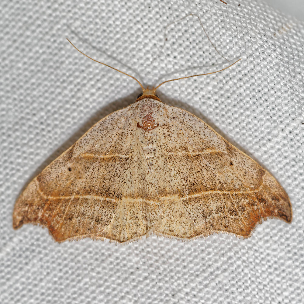 Laspeyria flexula (Erebidae)  - Crochet - Beautiful Hook-tip Pas-de-Calais [France] 15/07/2016 - 50m