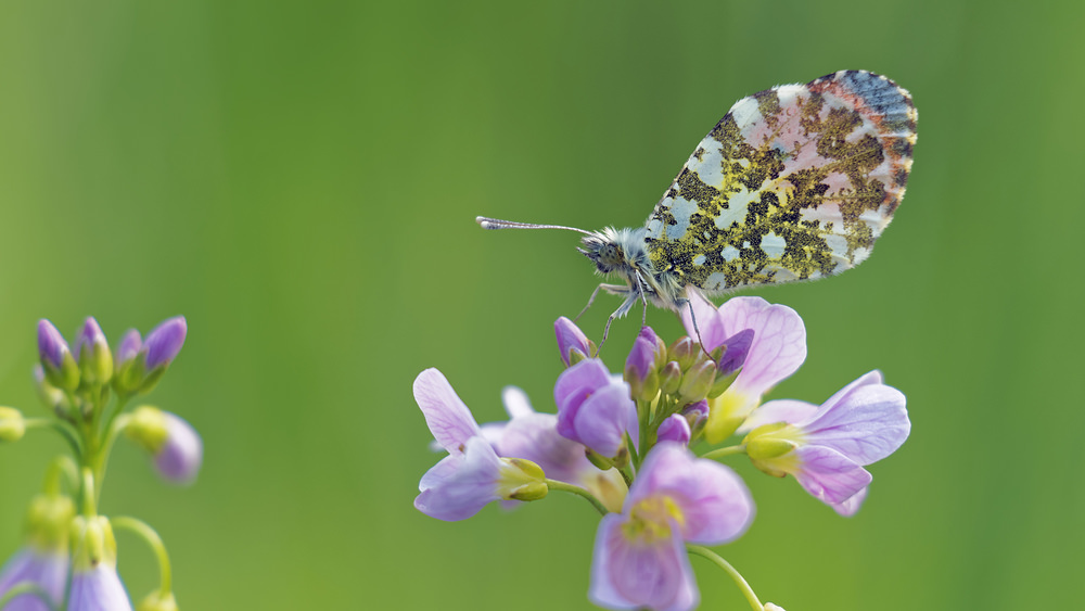 Anthocharis cardamines (Pieridae)  - Aurore - Orange-tip Marne [France] 16/04/2017 - 166m