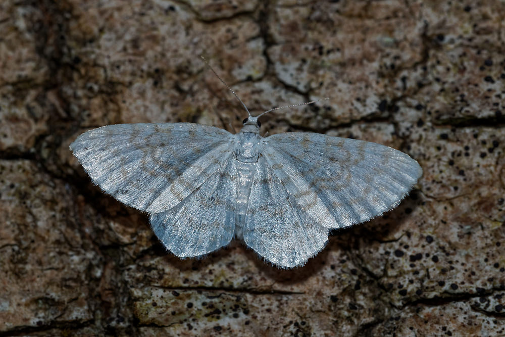 Idaea pallidata Acidalie disparate, Acidalie pâle