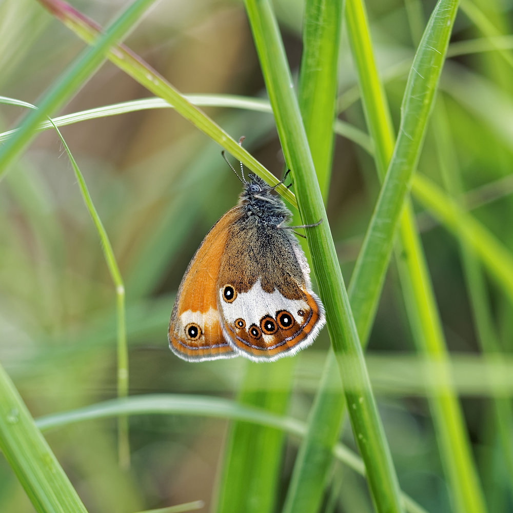 Coenonympha arcania (Nymphalidae)  - Céphale - Pearly Heath Doubs [France] 28/06/2017 - 750m