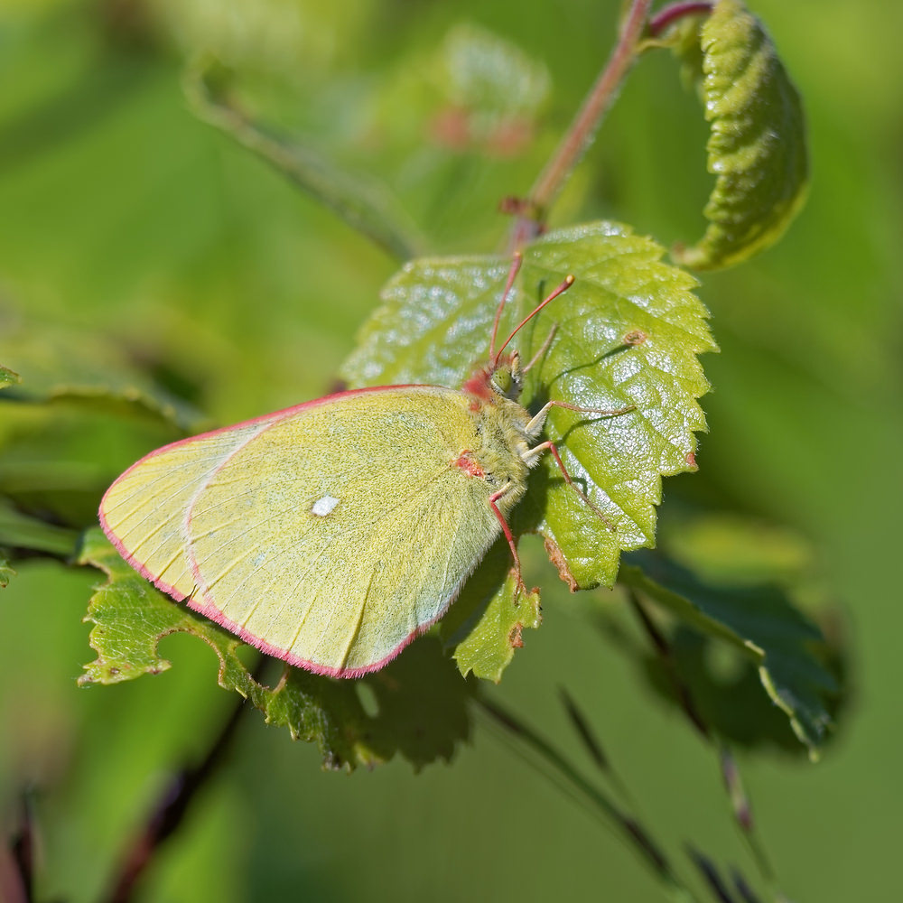 Colias palaeno (Pieridae)  - Solitaire - Moorland Clouded Yellow Jura [France] 30/06/2017 - 874m