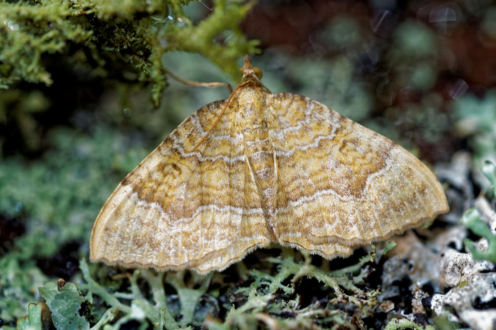 Camptogramma bilineata (Geometridae)  - Brocatelle d'or - Yellow Shell Vosges [France] 13/07/2017 - 955m