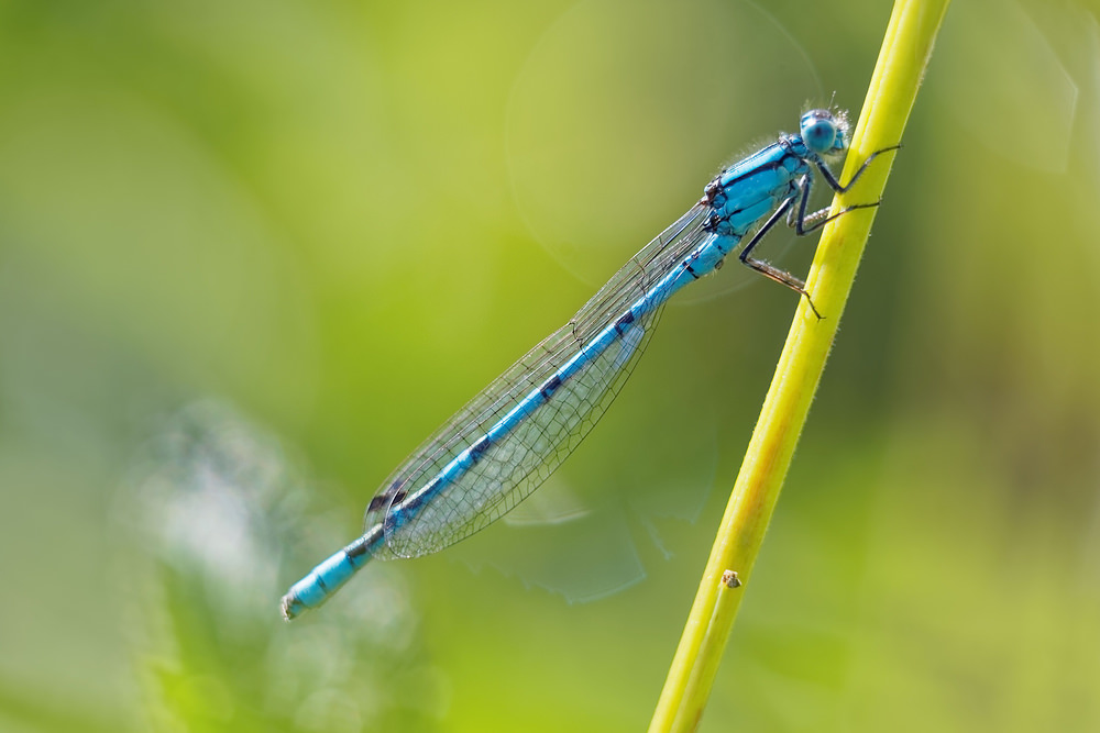 Enallagma cyathigerum (Coenagrionidae)  - Agrion porte-coupe - Common Blue Damselfly Jura [France] 03/07/2017 - 1125m