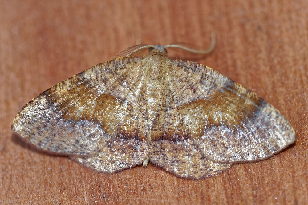 Plagodis pulveraria (Geometridae)  - Numérie poudrée - Barred Umber Cote-d_Or [France] 14/07/2017 - 421m