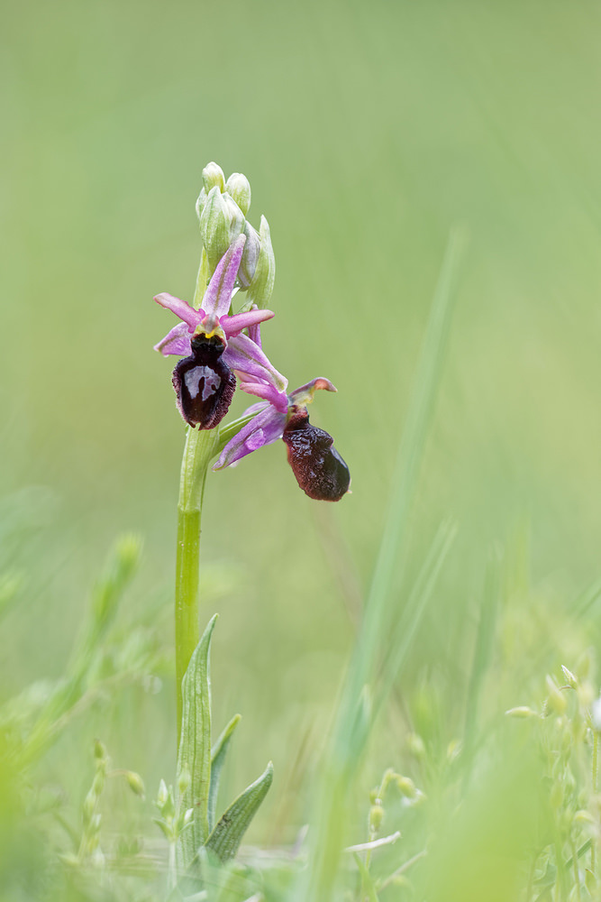 Ophrys catalaunica (Orchidaceae)  - Ophrys catalaunica, Ophrys de Catalogne Barcelona [Espagne] 29/04/2018 - 821m