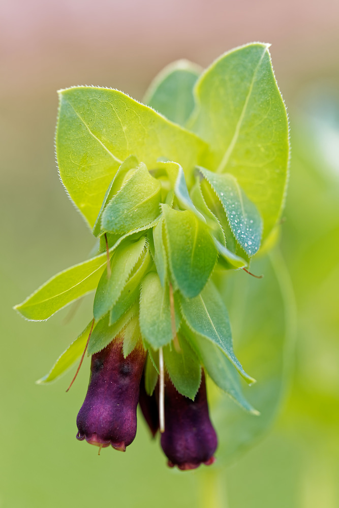 Cerinthe major (Boraginaceae)  - Grand mélinet - Greater Honeywort Cadiz [Espagne] 10/05/2018 - 810m