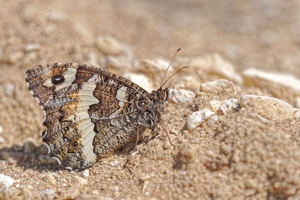 Hipparchia semele (Nymphalidae)  - Agreste - Grayling Alpes-de-Haute-Provence [France] 24/06/2018 - 693m