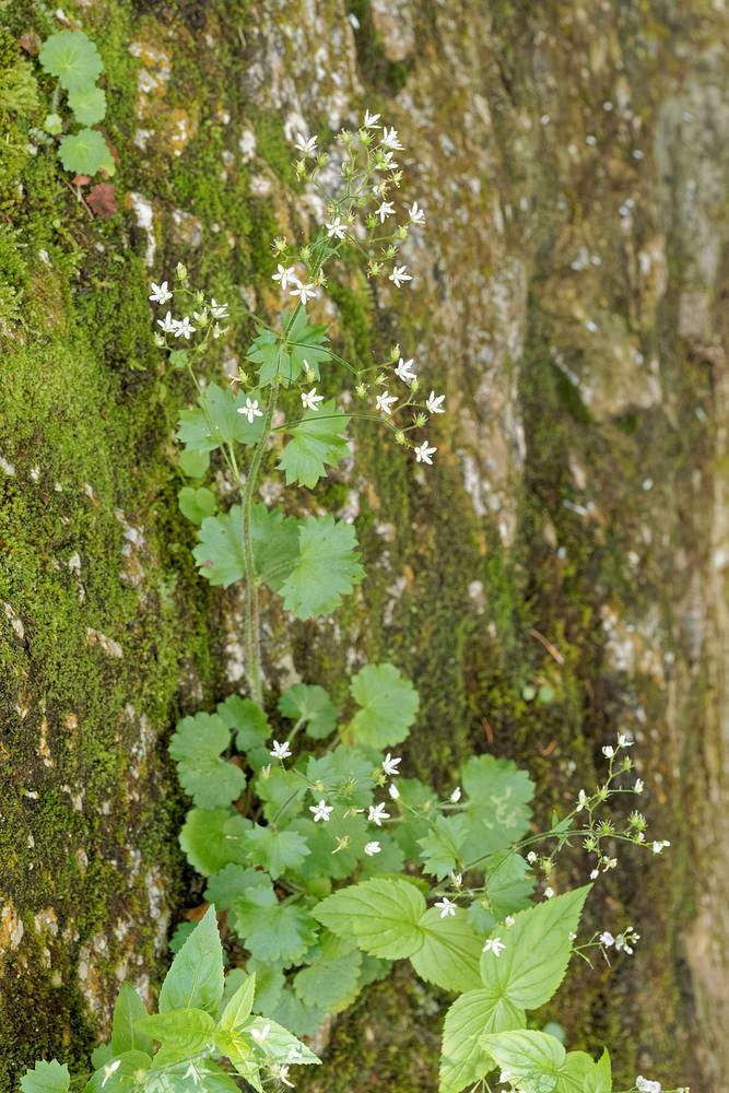 Saxifraga rotundifolia (Saxifragaceae)  - Saxifrage à feuilles rondes - Round-leaved Saxifrage Isere [France] 22/06/2018 - 856m