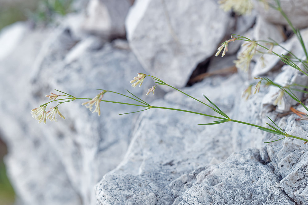 Galium  (Rubiaceae)  - Gaillet - bedstraws Municipality_of_Bovec [Slovenie] 05/07/2019 - 2025m