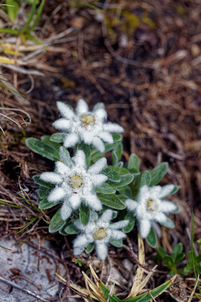 Leontopodium nivale (Asteraceae)  - Edelweiss - Edelweiss Municipality_of_Bovec [Slovenie] 05/07/2019 - 2025m