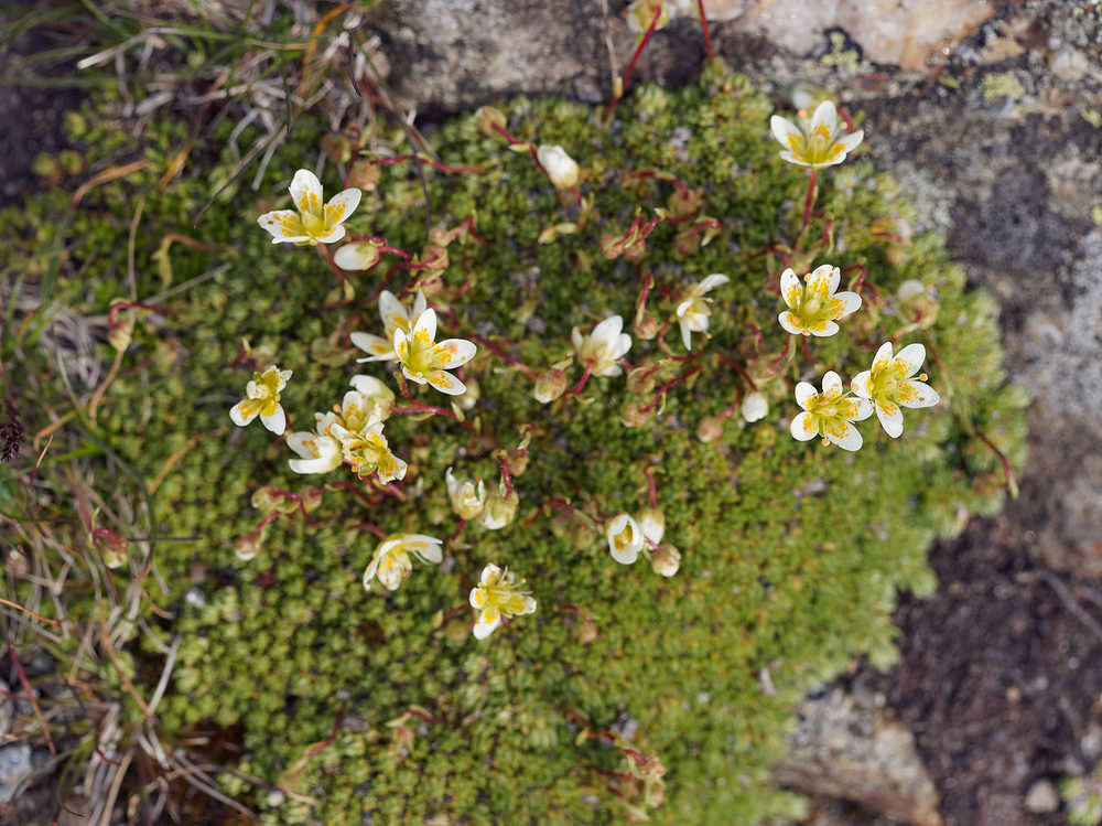 Saxifraga bryoides (Saxifragaceae)  - Saxifrage faux bryum, Saxifrage d'Auvergne District_d_Imst [Autriche] 17/07/2019 - 1700m